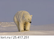 Купить «Polar bear (Ursus maritimus) sow with her cubs, newly emerged from their den on the Arctic coast, eastern Arctic National Wildlife Refuge, Alaska», фото № 25417251, снято 6 июня 2020 г. (c) Nature Picture Library / Фотобанк Лори