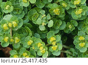 Купить «Golden saxifrage {Chrysosplenium oppositifolium} in flower, Lancashire, UK», фото № 25417435, снято 18 октября 2018 г. (c) Nature Picture Library / Фотобанк Лори