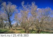 Купить «French tamarisk trees {Tamarix gallica} in Taray forest, Tablas de Daimiel NP, Cuidad Real, Spain», фото № 25418383, снято 23 апреля 2019 г. (c) Nature Picture Library / Фотобанк Лори