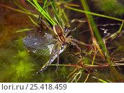 Купить «Raft spider (Dolomedes fimbriatus) eating a dragonfly (Anisoptera). Chobham common, Surrey, England», фото № 25418459, снято 25 сентября 2018 г. (c) Nature Picture Library / Фотобанк Лори