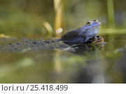 Moor frog (Rana arvalis) mating pair with frogspawn, Germany. Стоковое фото, фотограф Solvin Zankl / Nature Picture Library / Фотобанк Лори