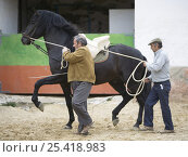 Купить «Black Andalusian stallion training session in dressage groundwork, Osuna, Spain, model released», фото № 25418983, снято 18 августа 2018 г. (c) Nature Picture Library / Фотобанк Лори