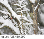 Green Woodpecker (Picus viridis) and Great spotted woodpecker {Dendrocopos major} feeding on trees in snow, Anjalankoski, Finland. Стоковое фото, фотограф Markus Varesvuo / Nature Picture Library / Фотобанк Лори