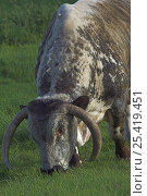 Купить «English Longhorn Bull (Bos taurus) grazing. UK», фото № 25419451, снято 14 августа 2018 г. (c) Nature Picture Library / Фотобанк Лори