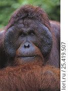 Orangutan {Pongo pygmaeus} portrait, Tanjung Puting NP, Kalimantan, Borneo, Indonesia. Стоковое фото, фотограф Nature Production / Nature Picture Library / Фотобанк Лори