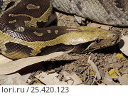 Купить «Blood Python (Python curtus) Captive, native to SE Asia.», фото № 25420123, снято 21 сентября 2019 г. (c) Nature Picture Library / Фотобанк Лори