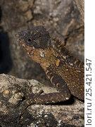 Купить «Female Mountain Horned Dragon (Acanthosaura crucigera) captive, from South East Asia», фото № 25421547, снято 22 марта 2019 г. (c) Nature Picture Library / Фотобанк Лори