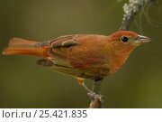 Summer Tanager (Piranga rubra rubra) Andes, Ecuador. Стоковое фото, фотограф Pete Oxford / Nature Picture Library / Фотобанк Лори