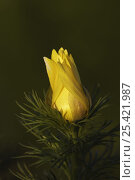 Купить «Spring Pheasant's Eye {Adonis vernalis} flower bud opening, National Park Lake Neusiedl, Austria, April», фото № 25421987, снято 15 августа 2018 г. (c) Nature Picture Library / Фотобанк Лори