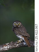 Ferruginous Pygmy Owl {Glaucidium brasilianum} adult, Rio Grande Valley, Texas, USA, May. Стоковое фото, фотограф Rolf Nussbaumer / Nature Picture Library / Фотобанк Лори