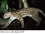 Купить «Margay cat on the prowl at night (Felis wiedi) Amazonia, Brazil», фото № 25423019, снято 14 июля 2019 г. (c) Nature Picture Library / Фотобанк Лори