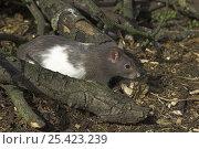 Купить «Broaken coated satin fancy rat {Rattus sp.} amongst branches, captive, UK», фото № 25423239, снято 18 августа 2018 г. (c) Nature Picture Library / Фотобанк Лори