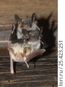 Greater mouse-eared bats (Myotis myotis), one albino, hanging from the ceiling. Pinzgau, Austria. Стоковое фото, фотограф Dietmar Nill / Nature Picture Library / Фотобанк Лори