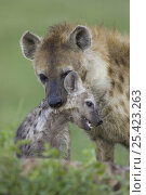 Купить «Spotted Hyena {Crocuta crocuta} mother lifting 4-month cub, Masai Mara Conservancy, Kenya», фото № 25423263, снято 7 июля 2020 г. (c) Nature Picture Library / Фотобанк Лори