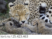 Купить «Cheetah {Acinonyx jubatus} mother grooming 8-day cub, Masai Mara Reserve, Kenya», фото № 25423463, снято 7 июля 2020 г. (c) Nature Picture Library / Фотобанк Лори