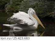 Купить «Dalmatian pelican (Pelecanus crispus) on water, captive, endangered species», фото № 25423683, снято 23 мая 2019 г. (c) Nature Picture Library / Фотобанк Лори