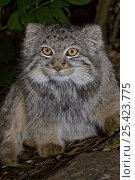 Young Pallas's Cat {Otocolobus manul} portrait, captive. Стоковое фото, фотограф Rod Williams / Nature Picture Library / Фотобанк Лори