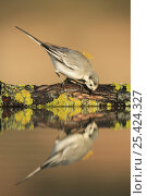 Купить «Female White wagtail {Motacilla alba alba}  leaning down to drink at waters edge, Spain», фото № 25424327, снято 18 августа 2018 г. (c) Nature Picture Library / Фотобанк Лори
