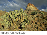 Купить «Prickly pear cactus {Opuntia sp} with Cerro Castellan peak in background, Big Bend NP, Texas, USA, 2004», фото № 25424927, снято 16 августа 2018 г. (c) Nature Picture Library / Фотобанк Лори