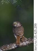 Ferruginous Pygmy Owl {Glaucidium brasilianum} adult feeding on mouse prey, Rio Grande Valley, Texas, USA, May. Стоковое фото, фотограф Rolf Nussbaumer / Nature Picture Library / Фотобанк Лори