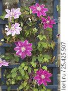 Купить «Garden Clematis on blue garden trellis, Somerset, UK», фото № 25425507, снято 22 сентября 2019 г. (c) Nature Picture Library / Фотобанк Лори