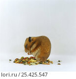 Купить «Adult Golden Hamster {Mesocricetus auratus} crouched, filling her pouches with food», фото № 25425547, снято 15 октября 2018 г. (c) Nature Picture Library / Фотобанк Лори