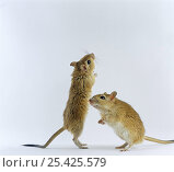 Купить «Pair of Shaw's Jirds / Gerbils (Meriones shawi) standing on their hind legs», фото № 25425579, снято 15 октября 2018 г. (c) Nature Picture Library / Фотобанк Лори