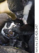 Купить «Female L'Hoests monkey {Cercopithecus l'hoesti} grooming young, captive», фото № 25426247, снято 22 марта 2019 г. (c) Nature Picture Library / Фотобанк Лори