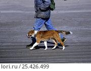 Купить «Border Collie, Bobby, walking to heel on a sandy beach.», фото № 25426499, снято 21 июля 2018 г. (c) Nature Picture Library / Фотобанк Лори