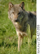 Купить «Grey wolf (Canis lupus), captive France captive, France», фото № 25427059, снято 20 февраля 2020 г. (c) Nature Picture Library / Фотобанк Лори
