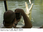 Купить «Saltwater crocodile (Crocodylus porosus) jumping out of water to catch dangling bait in Hartley's Creek crocodile farm, seen from adventure boat.  Queensland, Australia», фото № 25427591, снято 20 августа 2018 г. (c) Nature Picture Library / Фотобанк Лори
