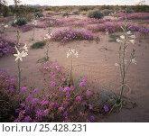 Desert Lillies (Hesperocallis undulata) and Desert Sand Verbena (Abronia villosa) at sunset, Mohawk Dunes, Barry M. Goldwater Range, Arizona. Стоковое фото, фотограф Jack Dykinga / Nature Picture Library / Фотобанк Лори