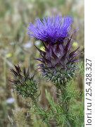 Купить «Artichoke thistle / Cardoon flower (Cynara cardunculus). Spain.», фото № 25428327, снято 24 мая 2018 г. (c) Nature Picture Library / Фотобанк Лори