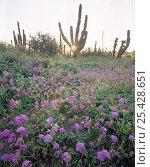 Купить «Flowering Sand Verbena (Abronia villosa) with sunrise through a Cardon Cactus (Pachycereus pringlei), Baja California Sur, Mexico, Central America», фото № 25428651, снято 17 августа 2018 г. (c) Nature Picture Library / Фотобанк Лори