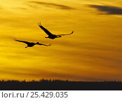 Купить «Common Crane (Grus grus), two adults in flight at sunrise Hornborga, Sweden, Scandinavia. April.», фото № 25429035, снято 16 декабря 2018 г. (c) Nature Picture Library / Фотобанк Лори
