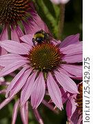 Купить «Bumblebee {Bombus terrestris} gathering pollen and nectar from Purple Coneflower {Echinacea purpurea} UK», фото № 25429275, снято 11 июля 2020 г. (c) Nature Picture Library / Фотобанк Лори