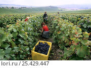 Купить «Pinot noir grape harvest during autumn, Chouilly, Côte de Blancs vineyard, Champagne country, France», фото № 25429447, снято 24 мая 2018 г. (c) Nature Picture Library / Фотобанк Лори