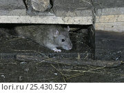 Купить «Brown rat {Rattus norvegicus} coming out from under pallet, Carmarthenshire, Wales, UK», фото № 25430527, снято 23 мая 2018 г. (c) Nature Picture Library / Фотобанк Лори