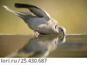 Купить «Collared dove {Streptopelia decaocto} drinking from bird bath, Moralet, Alicante, Spain», фото № 25430687, снято 22 февраля 2019 г. (c) Nature Picture Library / Фотобанк Лори