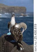 Купить «Pair of Blue footed boobies {Sula nebouxii} Espanola Is, Galapagos», фото № 25430819, снято 18 июня 2019 г. (c) Nature Picture Library / Фотобанк Лори
