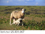 Купить «Domestic Sheep {Ovis aries} with suckling lamb, Badajoz, Extremadura, Spain», фото № 25431067, снято 16 августа 2018 г. (c) Nature Picture Library / Фотобанк Лори