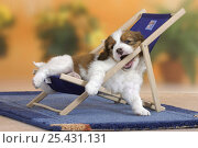 Купить «Domestic dog, Small Dutch Waterfowl Dog / Kooiker Hound /  Kooikerhondje puppy, 6 weeks, playing on chair», фото № 25431131, снято 15 января 2018 г. (c) Nature Picture Library / Фотобанк Лори