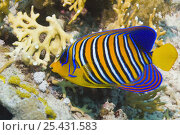 Regal angelfish (Pygoplites diacanthus) swimming past corals. Red Sea, Egypt. Стоковое фото, фотограф Georgette Douwma / Nature Picture Library / Фотобанк Лори