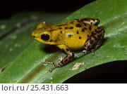 Купить «Strawberry poison arrow frog {Dendrobates pumilio} yellow race, captive, from Costa Rica», фото № 25431663, снято 29 мая 2020 г. (c) Nature Picture Library / Фотобанк Лори
