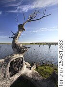 Dead Holm oak trees {Quercus ilex} in lake, Caceres, Extremadura, Spain. Стоковое фото, фотограф Jose B. Ruiz / Nature Picture Library / Фотобанк Лори