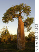 Baobab (Adansonia rubrostipa) Mangily near Ifaty. South-west subarid 'spiny' forest area of MADAGASCAR, фото № 25431863, снято 22 июля 2017 г. (c) Nature Picture Library / Фотобанк Лори