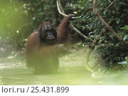 Orangutan {Pongo pygmaeus} adult standing in water, Tanjung Puting NP, Kalimantan, Borneo, Indonesia. Стоковое фото, фотограф Nature Production / Nature Picture Library / Фотобанк Лори