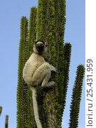 Купить «Verreaux's sifaka (Propithecus verreauxi) sitting on Didieraeaceae (Alluaudia ascendens) spiny forest, Berenty Reserve, Southern MADAGASCAR, endemic», фото № 25431959, снято 16 августа 2018 г. (c) Nature Picture Library / Фотобанк Лори
