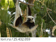 Купить «Coquerel's sifaka (Propithecus coquereli) feeding on young leaves of (Albizia sp) Ankarafantsika Strict Nature Reserve, Western deciduous forest. MADAGASCAR, endemic», фото № 25432059, снято 17 ноября 2019 г. (c) Nature Picture Library / Фотобанк Лори
