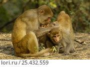 Купить «Rhesus Macaque (Macaca mulatta) family group grooming, Bharatpur National Park / Keoladeo Ghana Sanctuary, Rajasthan, India», фото № 25432559, снято 17 ноября 2019 г. (c) Nature Picture Library / Фотобанк Лори